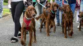 Irish Setter: 'Crazy' year for owners.