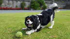 A dog walk and picnic in appreciation of Cavalier King Charles Spaniels takes place in Glasgow this May.