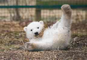 He is the first polar bear cub to be born in the UK for 25 years.
