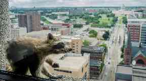 A raccoon stretches itself on the window sill of the Paige Donnelly Law Firm.