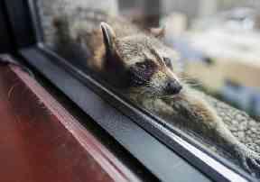 Stranded Raccoon