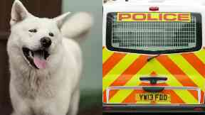 Attack: Akita is thought to be involved. (File pic, not dog involved)