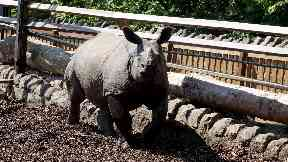 Qabid: The rhino had to be freed from the tyre by firefighters.