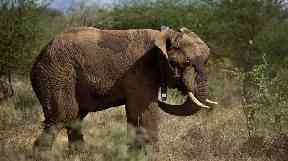 The elephant population has been cut by 30% between 2007 and 2014.