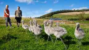 Chilean flamingos: Endangered.