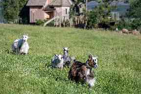 Pygmy goats and Highland cows graze nearby.
