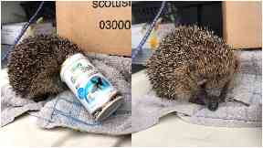 Stuck: The hedgehog was discovered with the plastic pot on her head.