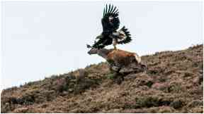 Plucky: The golden eagle had its sights set on the red deer.