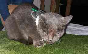 Recovery: The stricken cat took six weeks to get back on his feet.
