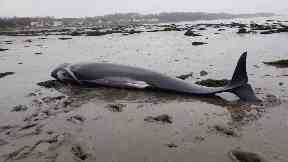Stranded: The pilot whales washed up in the Firth of Forth.