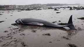 Stranded: The pilot whales got stuck on the mudflats.