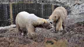 Proud parents: Polar bears Arktos and Victoria.