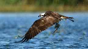 Pean: The osprey died in Spain in December.