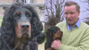 Endangered: Angus Gordon Lennox's ancestors first bred the Gordon Setter.