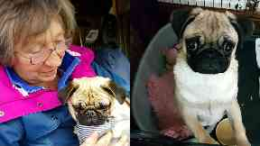 Pug puppy returned after going 'walkies' from dog show