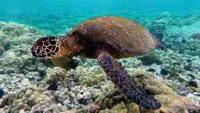 New insights into how turtles travel to Ascension Island