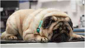 Podgy pug picked out for pet slimming competition