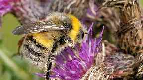 The search for Bombus distinguendus, rare bee of the Scottish isles