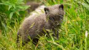 Adorable: Ten Arctic fox cubs have been born at the Highland Wildlife Park.