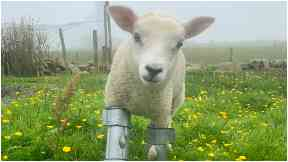 Blossom: The lamb was abandoned by its mother shortly after birth.