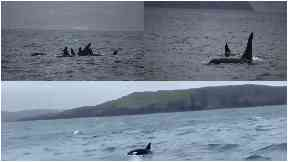 Mystery: Nine killer whales spotted off the Hebrides.