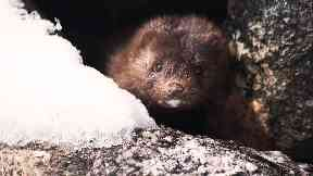 Predatory: Mink are known to hunt water voles and birds, damaging their populations.