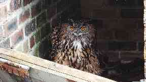 Discovered: An eagle owl is used to attract raptors.