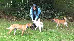 Halo and her pups were rescued from China by Amanda.