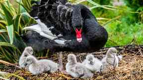 Family: The black swans will grow up to look like their mum.