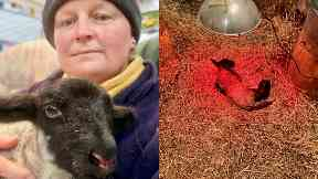 Saved: Mrs MacLean hand-reared Norman after he was rejected by his mum.