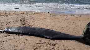 Rope was embedded deep into the whale's skin.