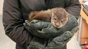 Rescue: The otter was found in Inverurie