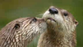 Otters: The mammals are a protected species.