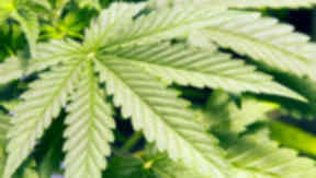 Cannabis worth £50,000 was found.