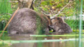 Beavers: Land managers urged to show restraint (file pic).
