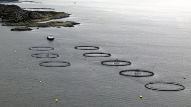 Salmon farming: Increased use of chemicals