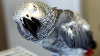 Parrot: Three of the birds were suffering from smoke inhalation.