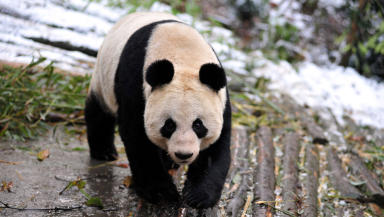 Giant panda: Tian Tian is one of the two animals to be housed at the zoo