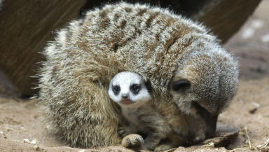 Heir to the throne: The baby meerkat is adjusting to life at the St Andrews Aquarium.