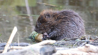 Beaver: Territories spreading across the east (file pic).