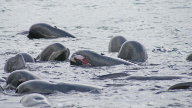 Open wounds: The whales distressed in the water