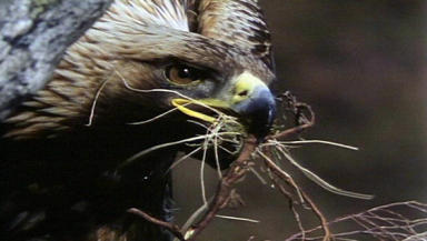 Golden eagle: Could have been wiped out with the amount of poison Dean Barr had