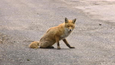 Issue: Pest controllers are dealing with an increased number of fox-related complaints.