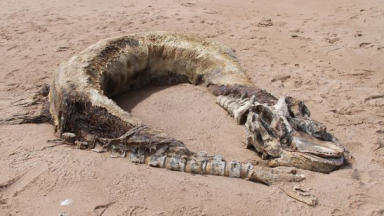 Whale carcass: The mysterious remains were discovered near Bridge of Don.