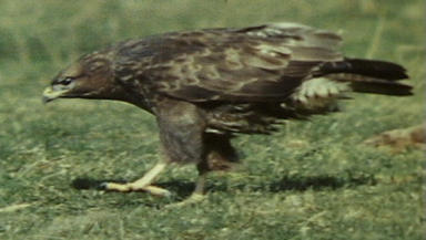 Buzzard: The gamekeeper killed four birds of prey with poison.