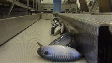 Mackerel: European countries punished for overfishing.