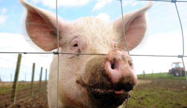 Close up of a pig.