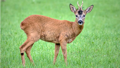 Paching: Deer are a protected species (file pic).