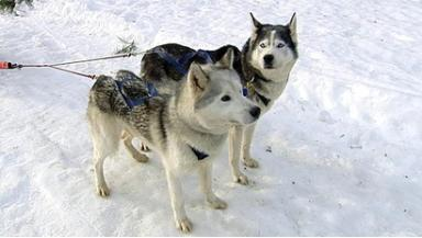 Huskies: The dogs will race in Holyrood Park.