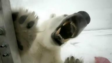 Cameraman Gordon Buchanan confronts a polar bear while filming a BBC documentary in the Arctic.